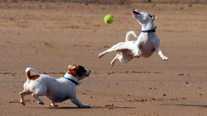 1200px-Jack_Russell_Terrier_Eddi_Jumping
